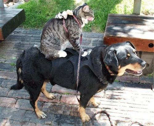 cat-riding-dog