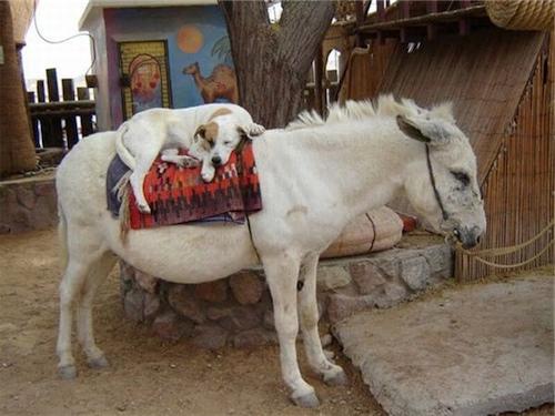 dog-riding-donkey