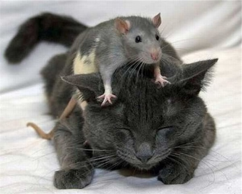 mouse-riding-cat