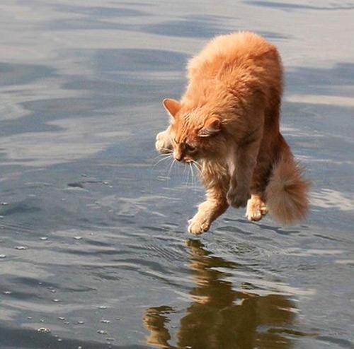 Jesus cat can walk on water